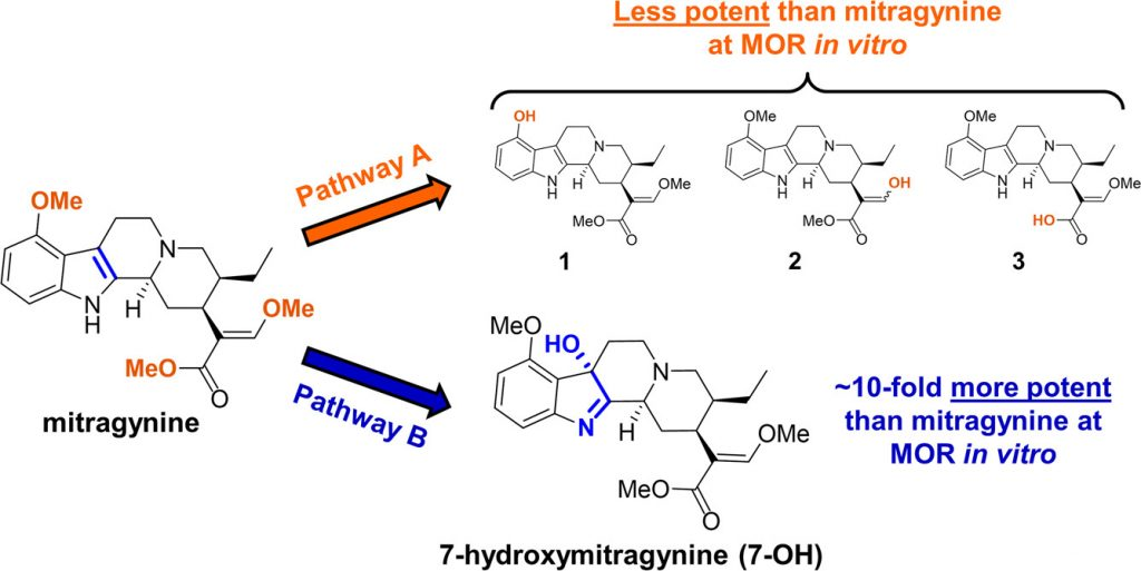 Potential breakdown pathways of mitragynine