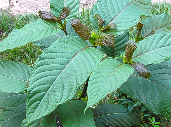Young M. speciosa (kratom) tree